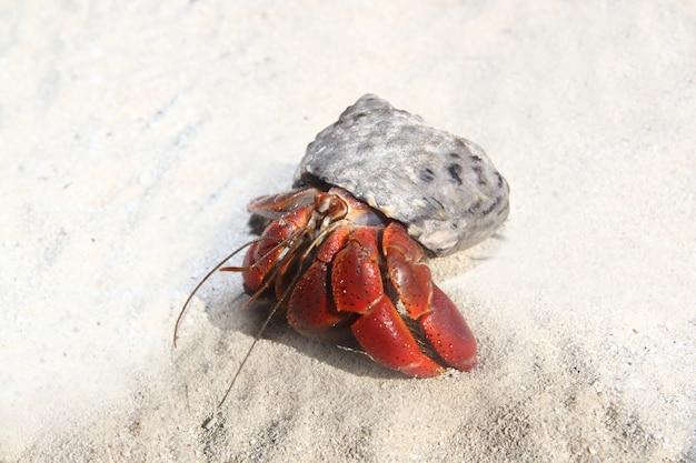 Bernard-l'ermite à pattes rouges dans le sable de la plage du mexique