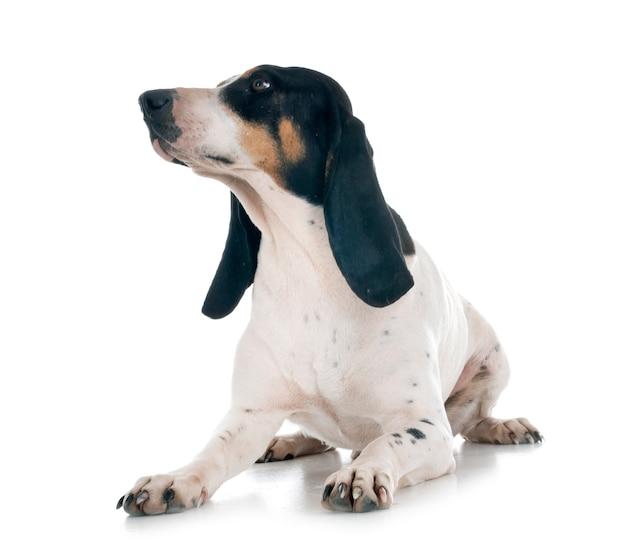 Bernois schweizer laufhund