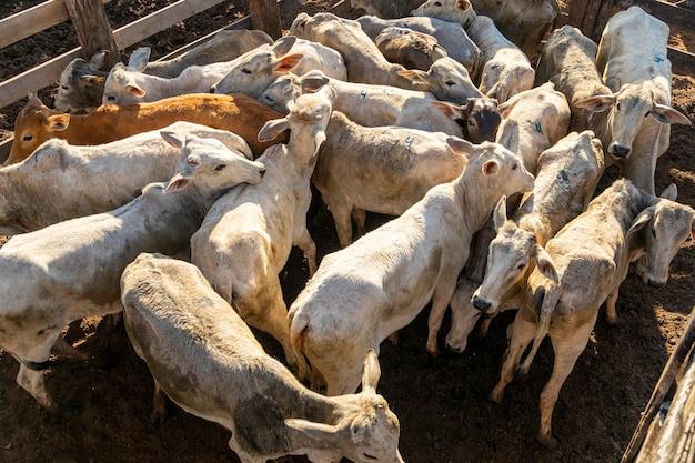 Bétail confiné, bœufs, vaches, journée ensoleillée.