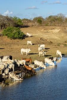 Le bétail fuyant la sécheresse et l'eau potable dans la rivière pirari jacarau paraiba brésil