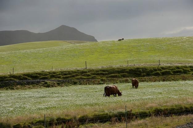 Bétail paissant sur des pâturages par temps nuageux, montagne dans le dos