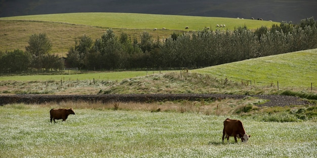 Bétail paissant sur des pâturages vallonnés