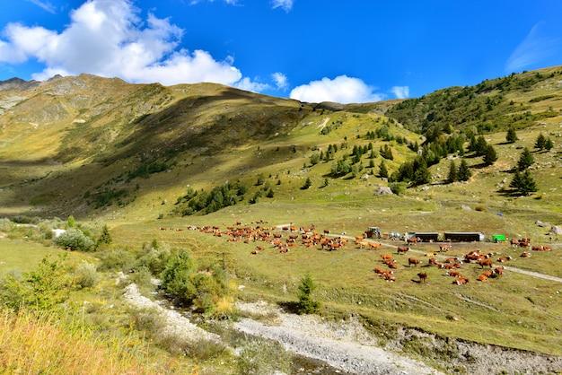 Bétail de vaches brunes dans la vallée alpine