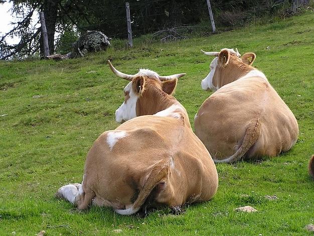 Bétail vaches quelques cornes de vache d'élevage
