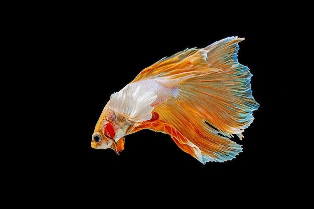 Betta, poisson combattant siamois sur un mur noir
