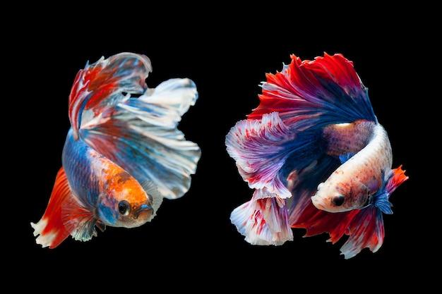 Betta poissons de combat siamois, poissons d'aquarium thaïlandais populaires. drapeau rouge blanc bleu de la thaïlande