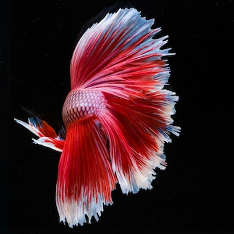 Betta siamois poisson de combat betta splendens aquarium