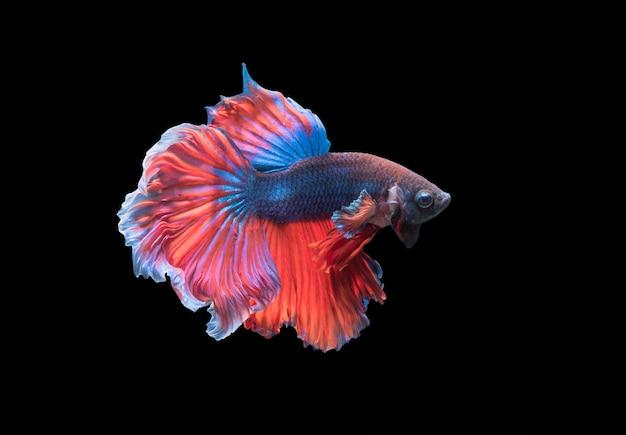 Betta splendens, beau poisson de combat isolé sur fond noir, poisson d'eau douce en thaïlande