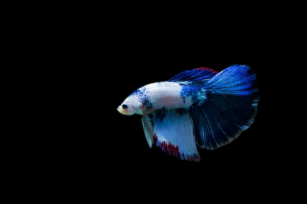 Betta splendens halfmoon, poisson de combat siamois coloré, poisson de combat sur fond noir,