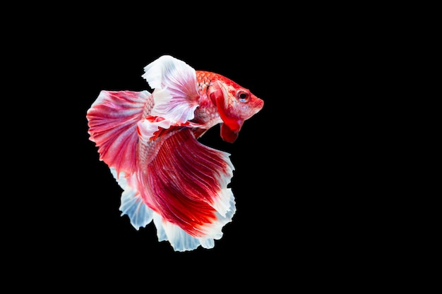 Betta splendens, poisson de combat siamois