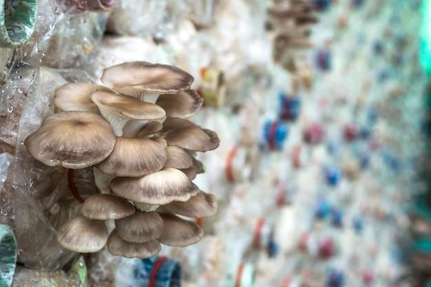 Bhutan oyster mushroom dans la ferme