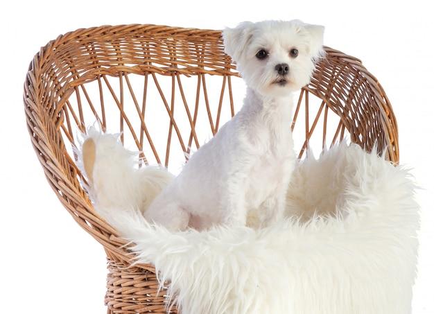 Bichon maltais sur une chaise en osier
