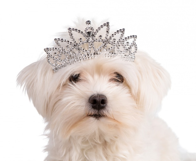 Bichon maltais avec une couronne de reine