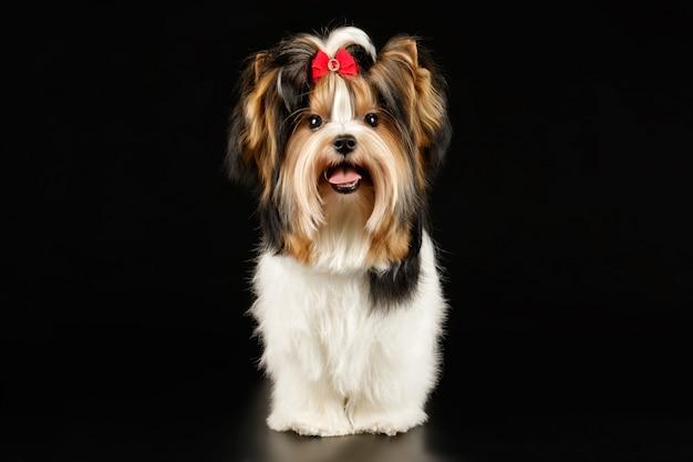 Biewer yorkshire terrier sur fond coloré