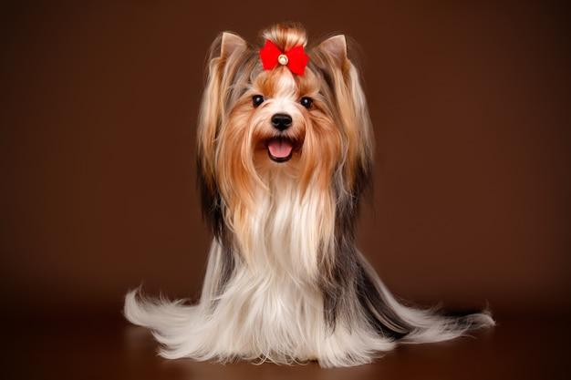 Biewer yorkshire terrier sur fond marron