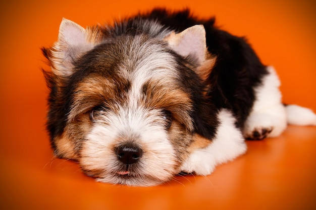 Biewer yorkshire terrier sur fond rouge