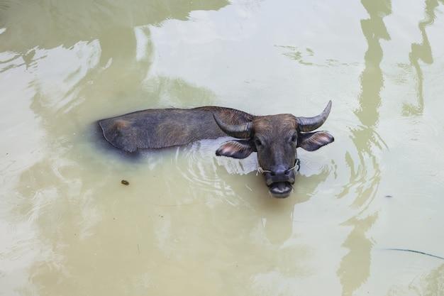 Big buffalo est heureux de jouer dans la piscine au soleil et chaud en été en thaïlande.