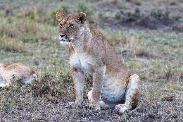 Big lionne regarde le point d'observation de la savane à maasai mara kenya afrique
