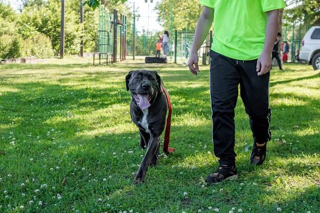 Big young cane corso jouant dans l'herbe avec propriétaire, animal