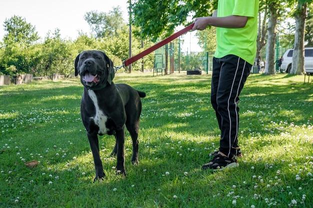 Big young cane corso marchant dans l'herbe avec propriétaire, animal