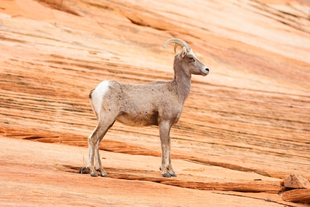 Bighorn sheep dans le parc national de zion