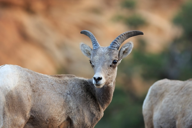 Bighorn sheep ewe dans le parc national de zion