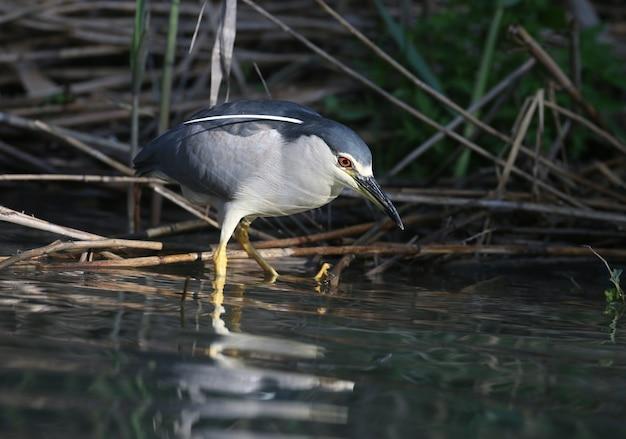 Le bihoreau gris (nycticorax nycticorax) assis dans un arbre et chassant des poissons dans l'eau.