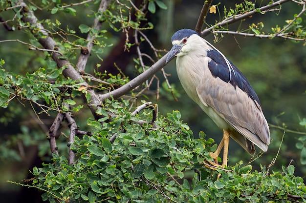 Bihoreau passant la journée sur un arbre