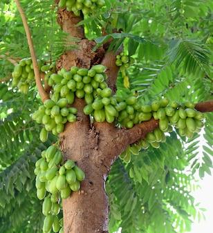 Bilimbi (averhoa bilimbi linn.) ou fruits de concombre sur arbre