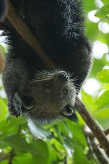 Binturong animal dans les arbres
