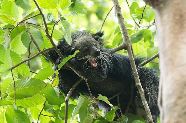 Binturong sur arbre