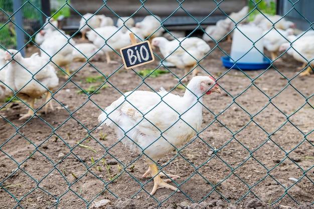 Bio poulets dans une ferme familiale.