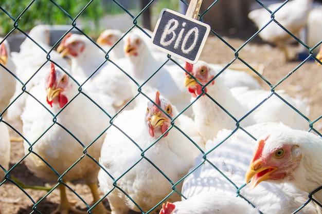 Bio poulets dans une ferme. mise au point sélective.