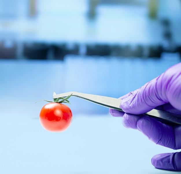 Biologiste examinant la tomate cerise pour les pesticides