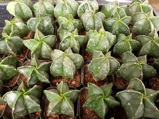 Bishops cap cactus astrophytum myriostigma dans une ferme de cactus