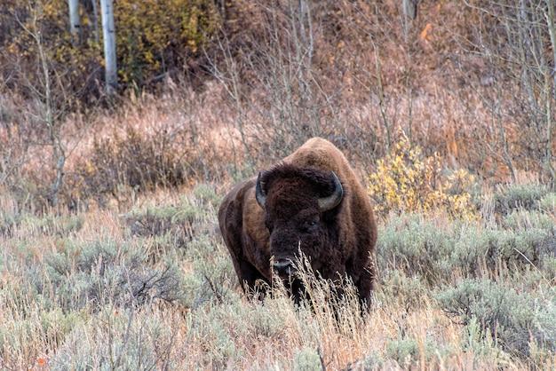 Bison d'amérique dans les plaines de l'armoise du parc national de grand teton