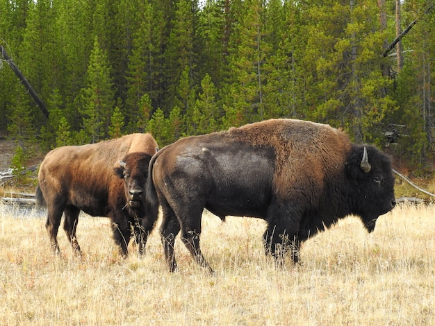 Bison d'amérique debout sur un champ