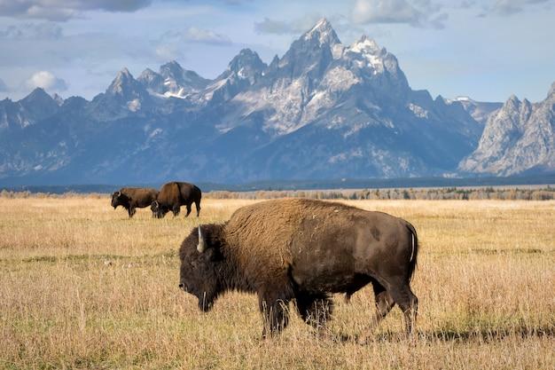 Bison broutant dans un pré