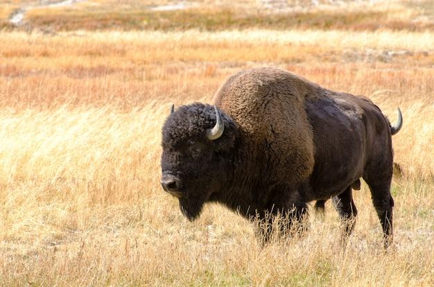 Bison dans le pré de fountain flat drive à yellowstone