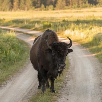Bison debout sur un chemin de terre, lake audy campground, parc national du mont-riding, manitoba, canada