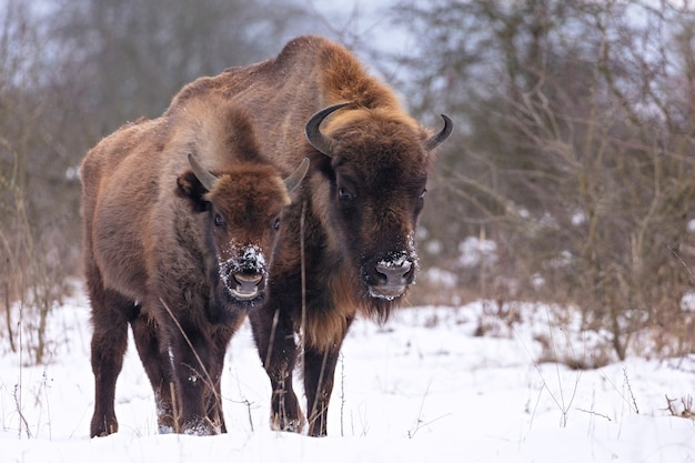 Bison d'europe dans la belle forêt blanche en hiver bison bonasus