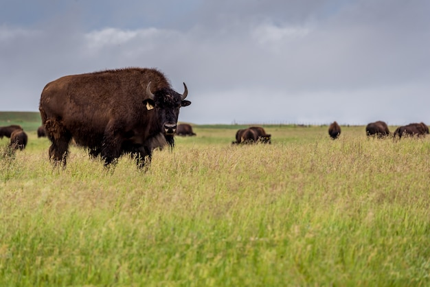 Bison, plaine, buffle, pâturage, dans, a, pâturage, dans, saskatchewan, canada