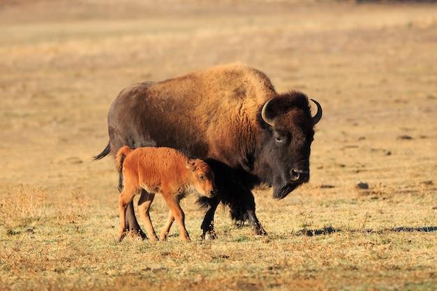 Bison et veau d'amérique