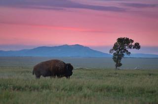 Bisons et des arbres isolés
