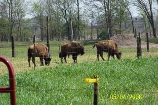 Bisons, dangereuses, des bisons