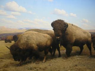 Bisons dans les plaines