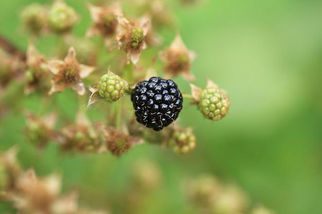 Blackberry berry sur un buisson un jour d'été