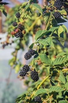 Blackberry pousse dans le jardin de la maison. mise au point sélective.