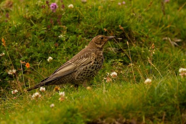 Blackbird, turdus torquatus parmi les rochers en espagne