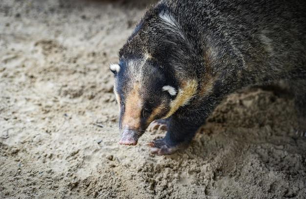 Blaireau de porc - arctonyx collaris blaireau grand porc